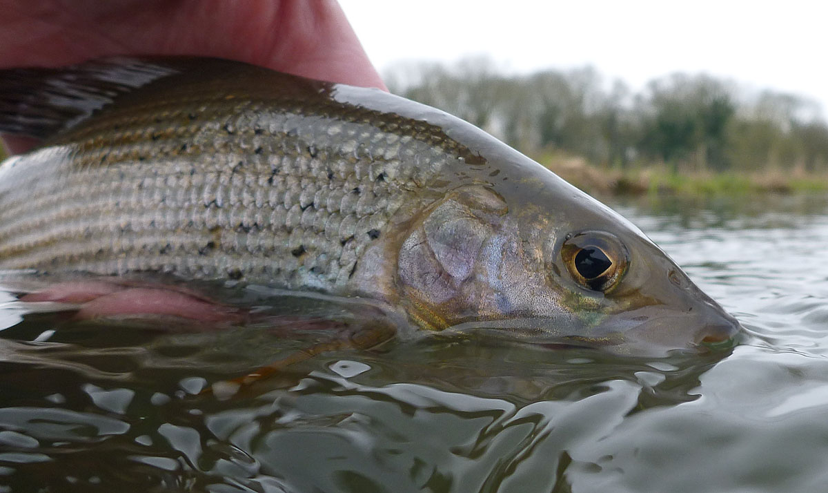 02Grayling_big.jpg