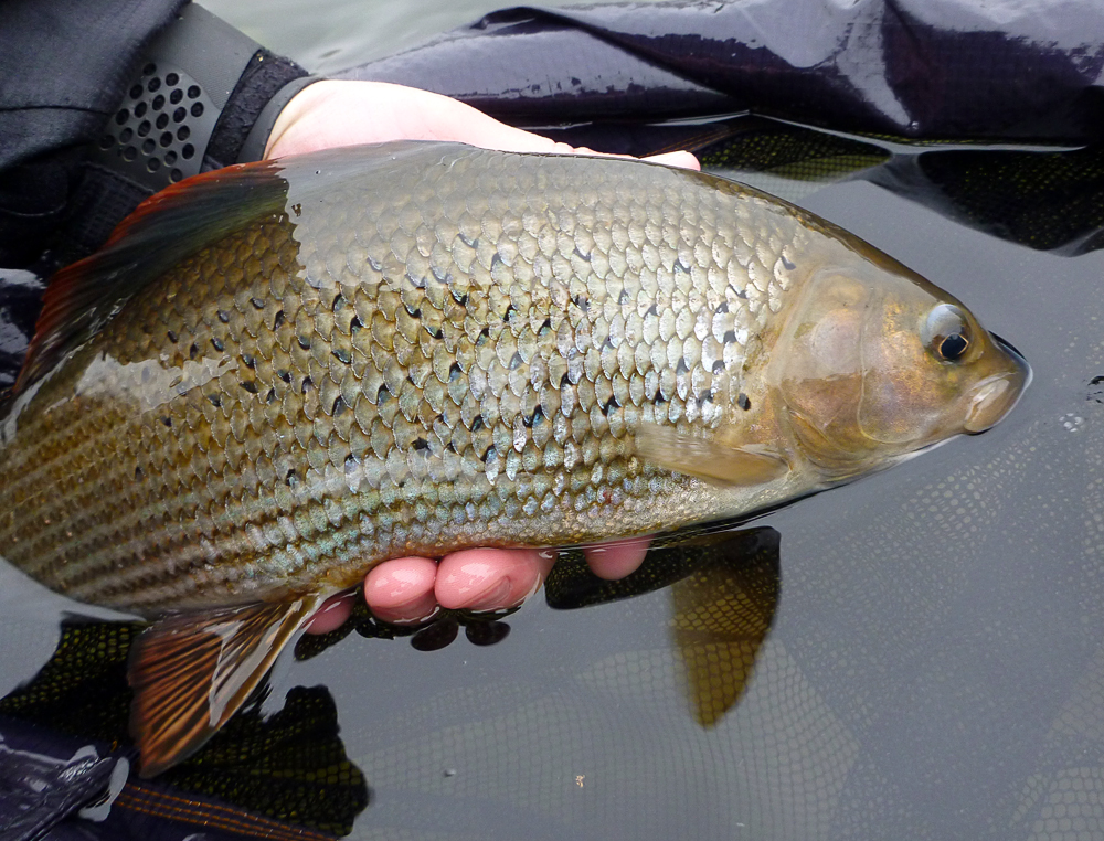 20141122_big-Grayling.jpg