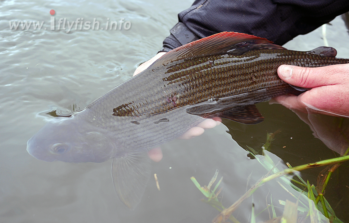 20180129-Grayling_underwater_B.jpg