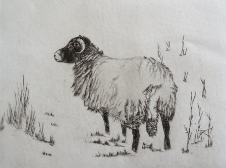 Swaledale sheep in snow, dry point by vin Brown