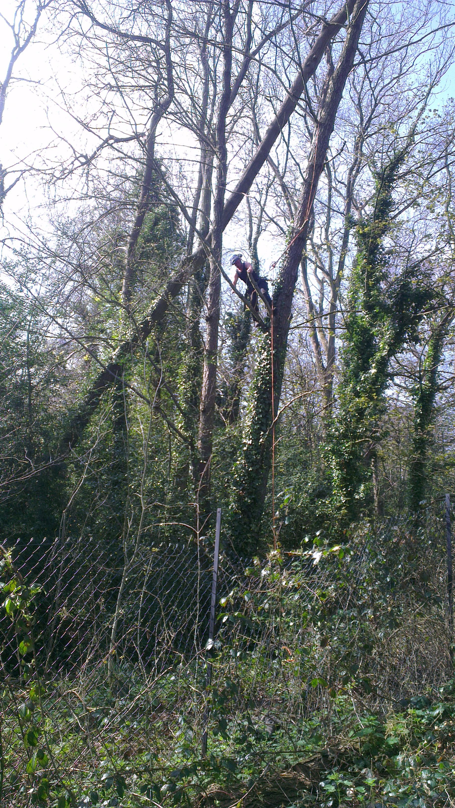 Aureus Tree Services Your local tree surgeon in Bromley Beckenham Bexley Sidcup Lewisham Catford Forest Hill Orpington Greenwich Blackheath Kent Sussex