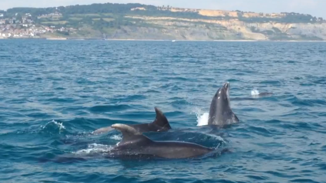 Dolphins in Lyme Bay