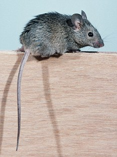 mouse pest control image