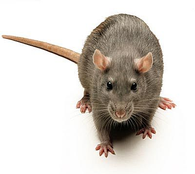 rat pest control London
