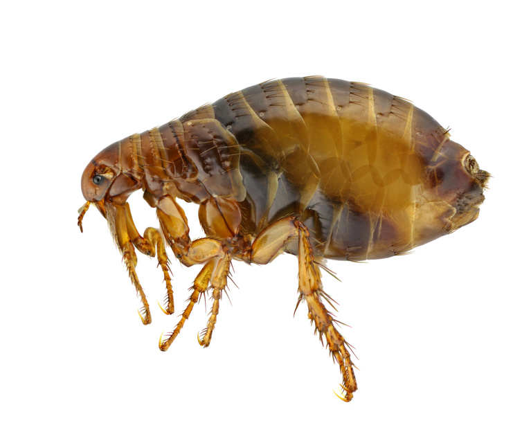 flea pest control London