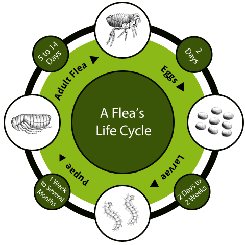 flea life cycle image