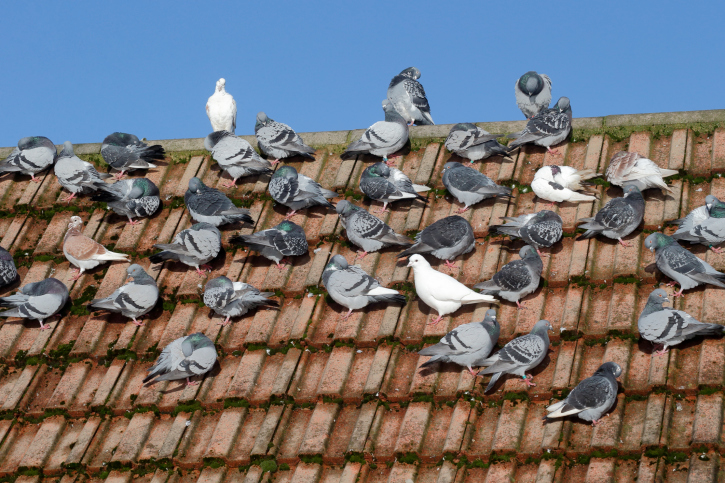 pigeons on a london roof