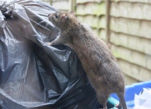 rat control uk rubbish