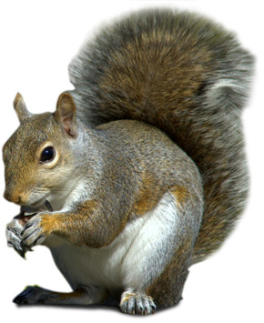 squirrel pest control London