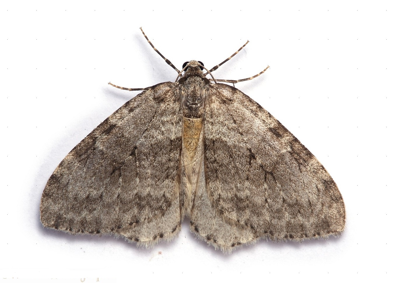 The Clothing Moth (Tineola bisselliella)