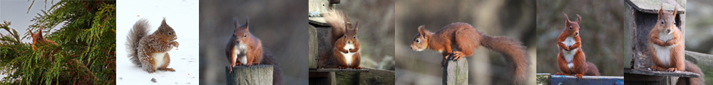 Garsdale Red Squirrels banner