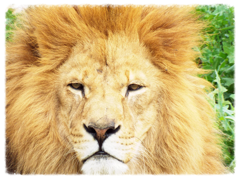 Fusions of Oneness, Lion
