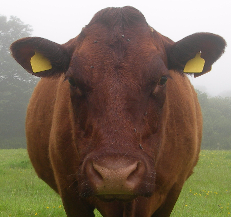 Gwinevere Cornish Coastal Grass Fed Beef