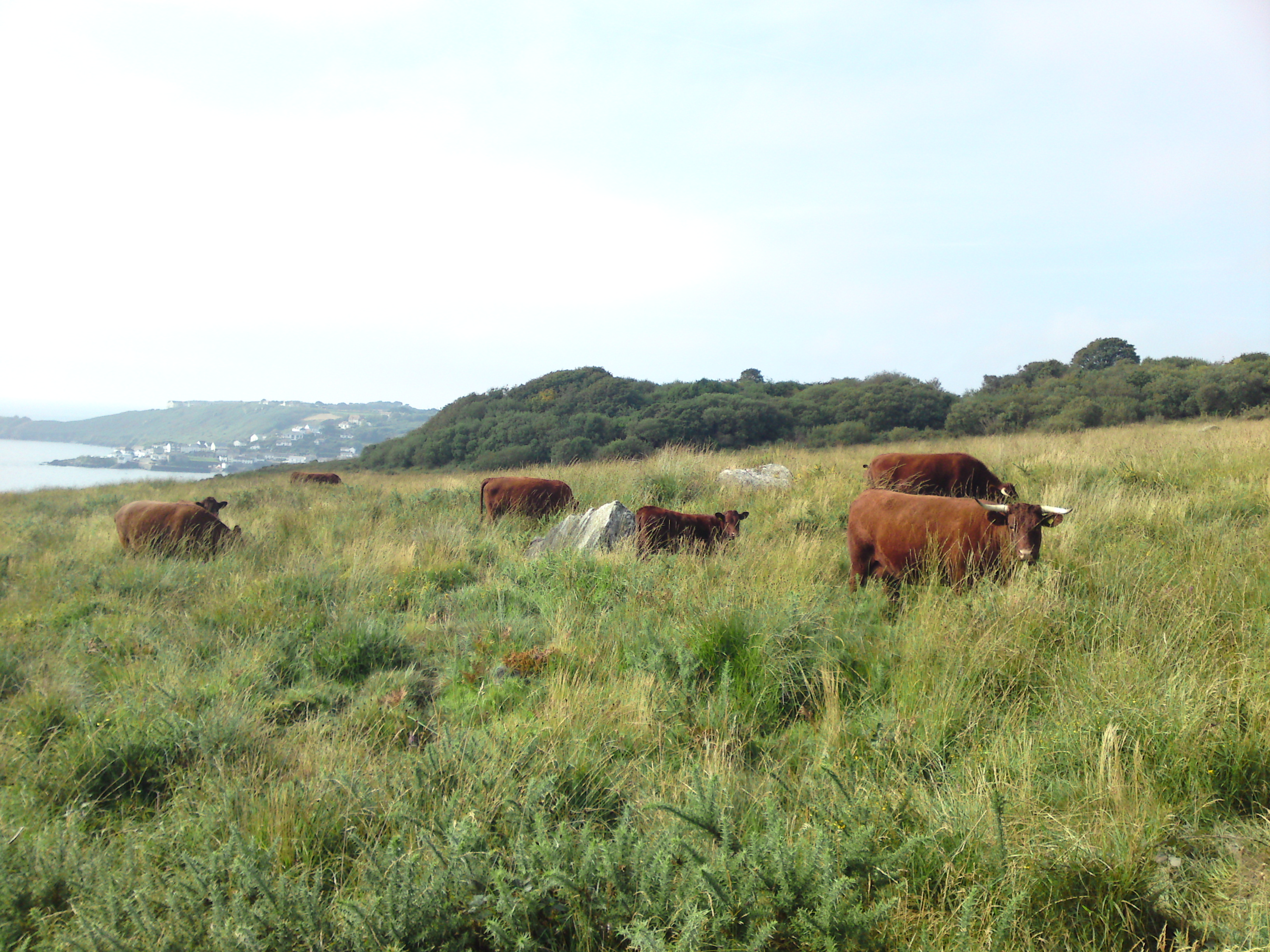 CowCornish Coastal Grass Fed Beef Grove