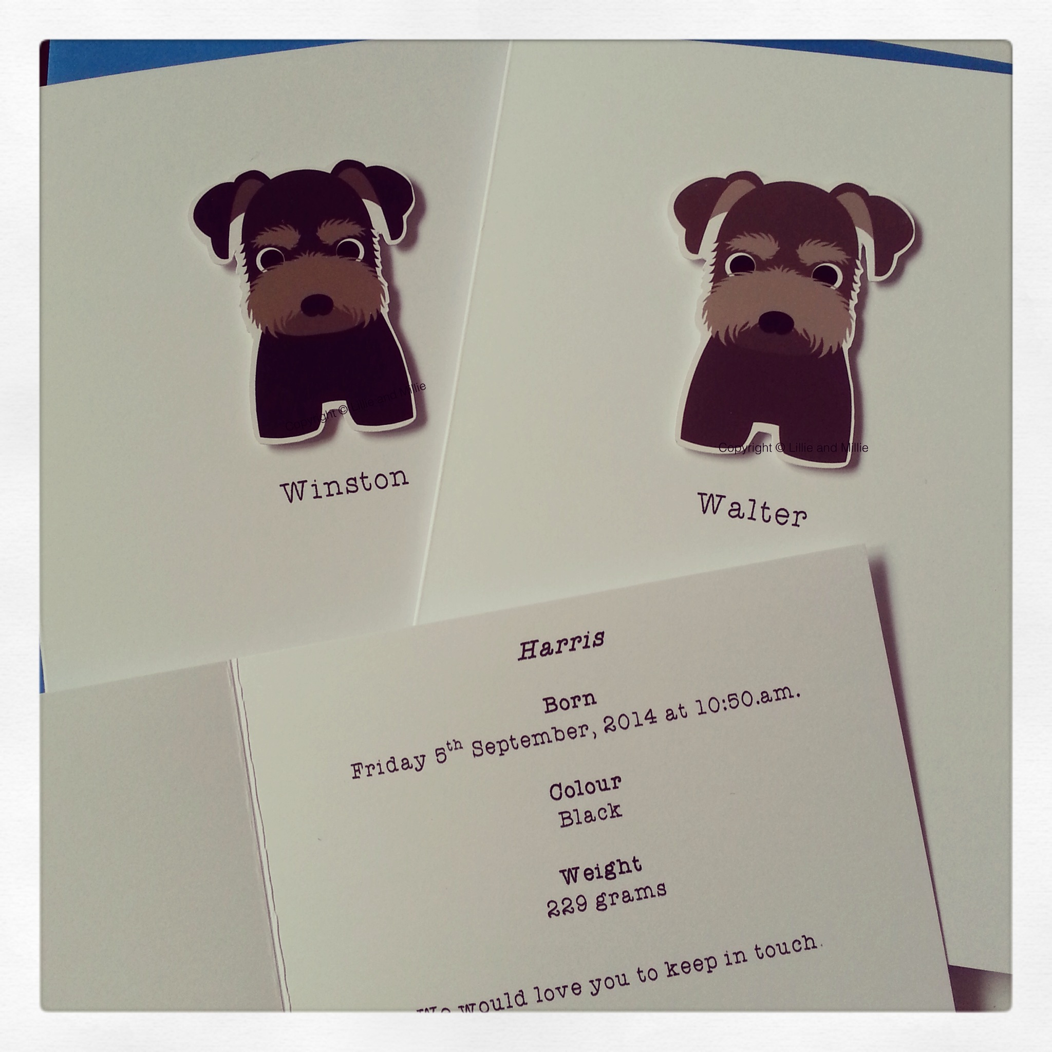 Schnauzer Puppy cute and Cuddly Cards